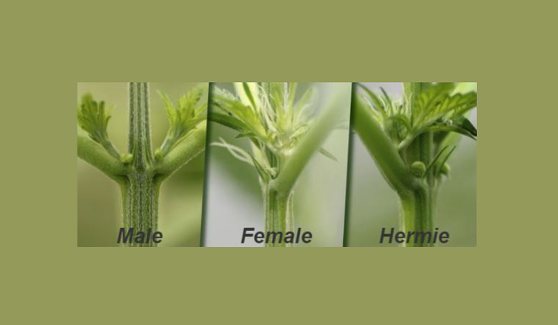 How to Tell if You Have a Male or Female Plant